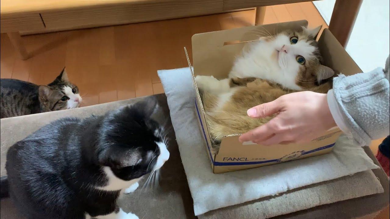 好んで小さい箱に入る猫