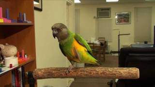 Kili Senegal Parrot - High Ratio Tricks for Single Treat