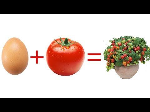 Trứng, cà chua và ít đất, kết quả thật ngạc nhiên | Egg, tomato, less soil, the results were amazing