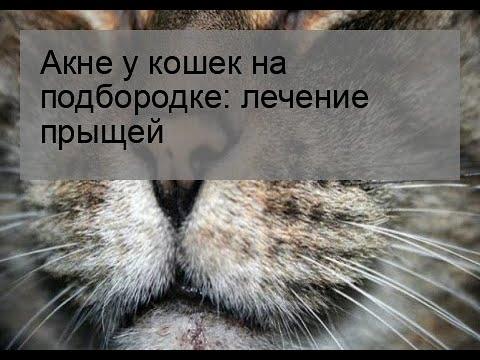 Акне у кошек на подбородке: лечение прыщей