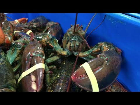 The trade war with China that U.S President Donald Trump is threatening to escalate is already hitting lobster exporters in the Northeast and benefitting their competitors in Canada. (May 9)