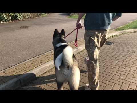 Akita training Rocco part1