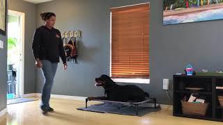 """1 year old Rottweiler """"Boomer""""/ Rottweiler Trainer/Best Dog trainer orlando"""