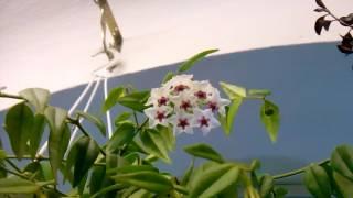 На балконе цветет бегония