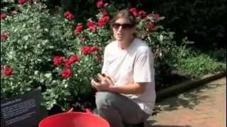 Feeding your roses