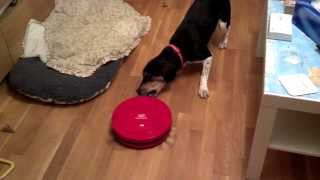 Beagle dog vs robot vacuum