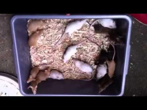 Video Ternak tikus putih atau tikus hias mencit