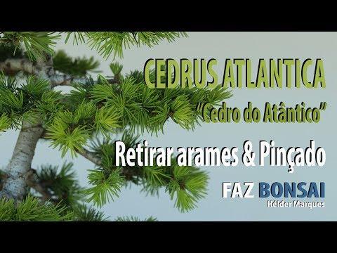 CEDRUS ATLANTICA - Cedro do Atlântico - Retirar arames & Pinçado