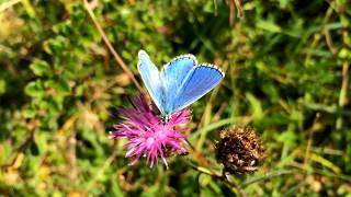 Adonis Blue butterfly, South Downs, England