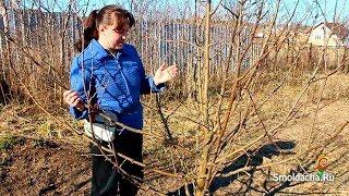 Весенняя обрезка яблони в деталях