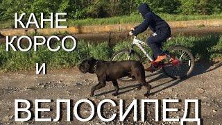 Кане Корсо и велосипед, велоспорт с собакой породы #КанеКорсо