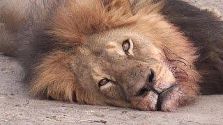 Sur Les Traces De La Mort Du Lion Cecil   Émission Sept à Huit