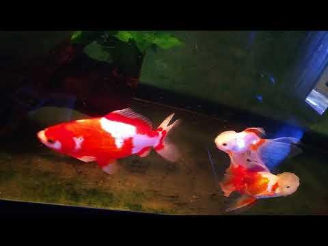 我が家の金魚たち 和金、琉金、ダルマ、などなど!!