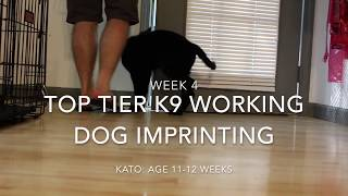 Week 4 with Kato: Working Dog Puppy Imprinting
