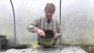 HOW TO GROW FREESIAS IN A POT
