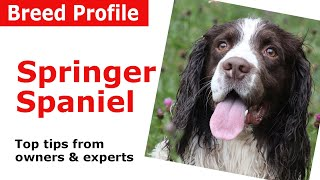 English Springer Spaniel Dog Breed Guide