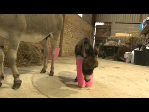 L'asinella dalle zampe rosa
