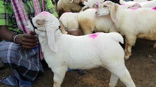 Breeder Barbari and Kids At Barbari Goat Farm Mathura