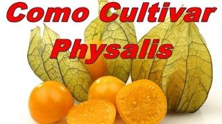 Mondini Plantas: Como Cultivar Physalis(fisalis)