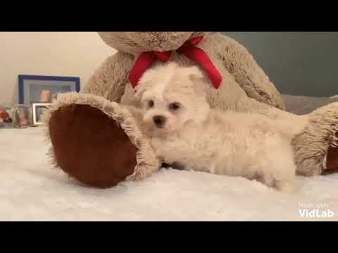 Im GiGi, a healthy fun-loving gorgeous Maltipoo from parents that are very sweet tempered