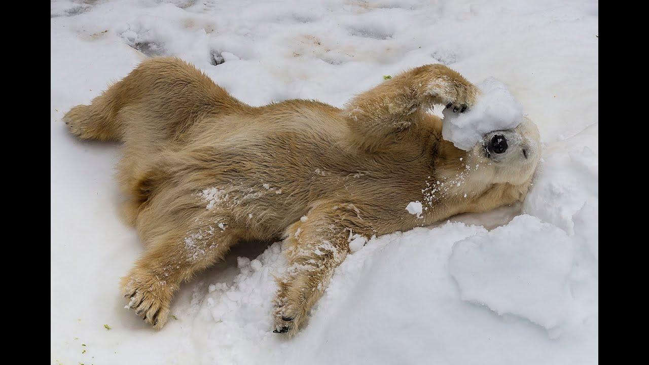 Белым медведям устроили зиму