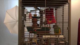 Kili Senegal Parrot - Vocalizing and Playing in Cage