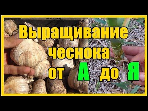 """Выращивание озимого чеснока от А до Я / Тонкости выращивания озимого чеснока сорт """"Любаша"""""""