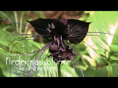 Fledermausblume Jungpflanze   1Monat in 2 Minuten