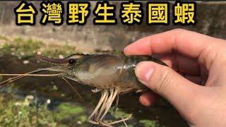 泰國蝦出現在台灣水溝? 又多一樣外來種破壞台灣生態 路人傻眼是釣蝦場外流?