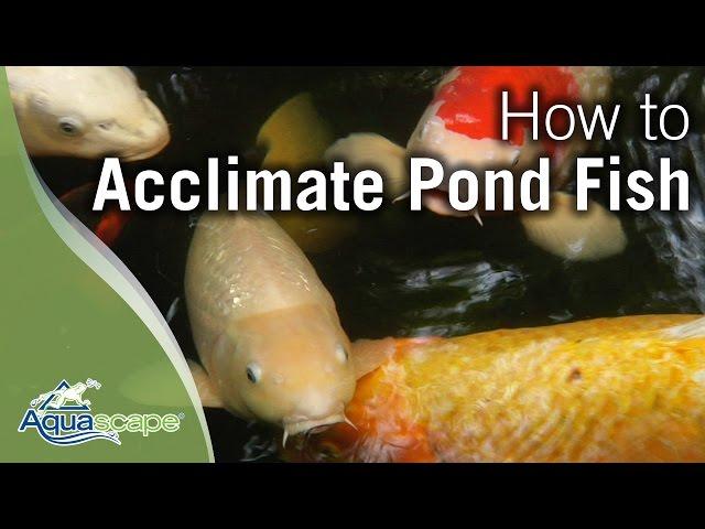 Acclimating Pond Fish with Aquascape's Pond Detoxifier