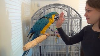 Rachel Blue and Gold Macaw - Playing and Giving High Five