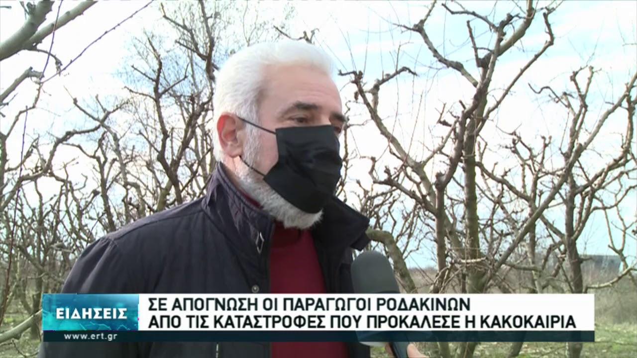 Η πανδημία έπληξε και τους ροδακινοπαραγωγούς της Ημαθίας   14/01/2021   ΕΡΤ