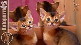 Абиссинские котята у зеркала [kotopurrs]