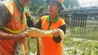 Sedang Bersihkan Aliran Sungai, Petugas UPK Badan Air Temukan Ular Sanca 5 Meter di Kali Mookervart