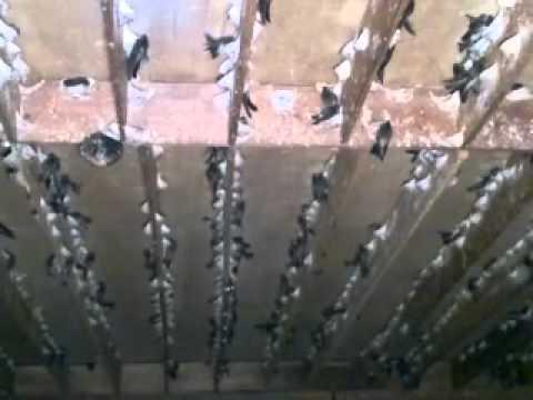 Video sarang koloni walet