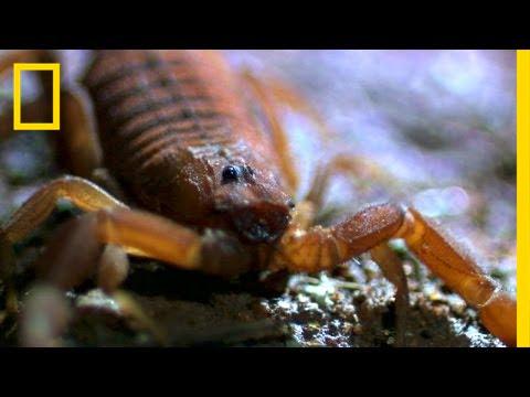 World's Deadliest Scorpion | National Geographic thumbnail