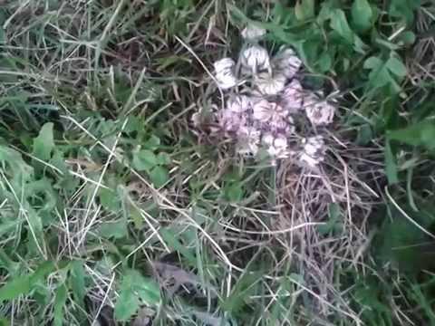 Paglilinis ng mga parasito birch tar