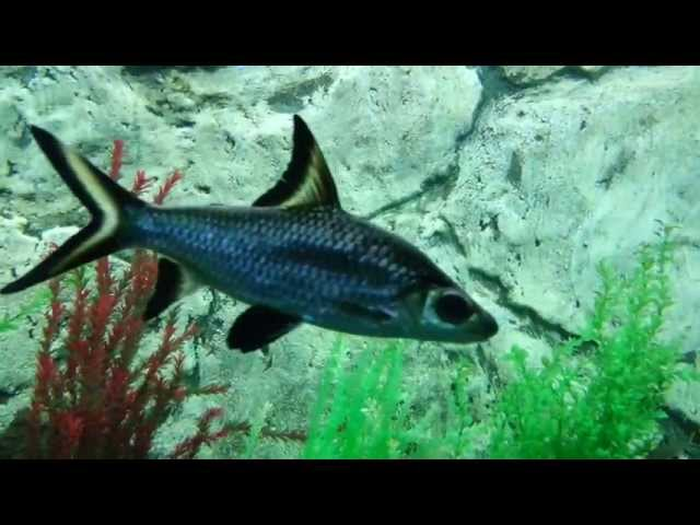 Silver shark is a tropical fish for freshwater aquariums