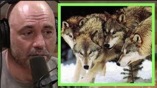 Joe Rogan   Wolf Super Packs in Russia