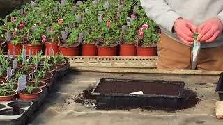 How to grow bedding plants from seed