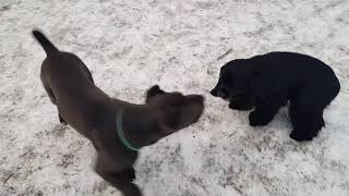 Кане Корсо 4 месяца ( прогулка с собаками )