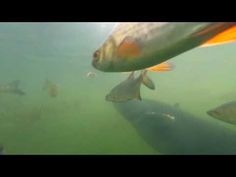 Рыбы в пруду-охладителе Чернобыльской АЭС