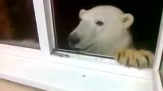Это Россия, детка!!! Северный гость. Кормят белого медведя с окна.