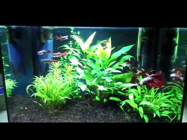 Halfmoon Dragon Betta - 5 Gallon Community Betta Fish Tank [Over Crowded]