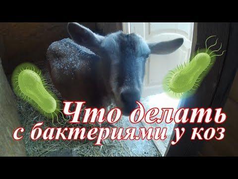 У коз появились бактерии