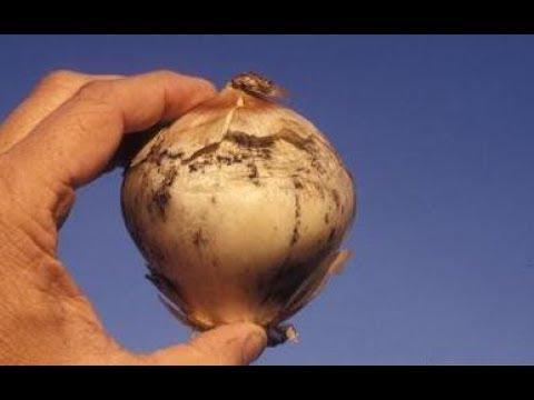 Gamot para sa fungal bata