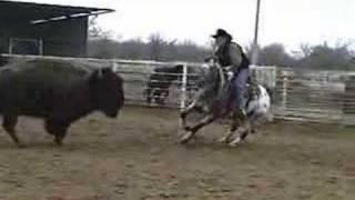 Appaloosa Horse Cutting Buffalo