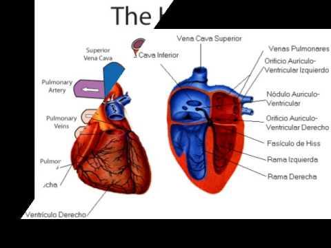 Cazadores hipertensión