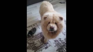 Chow Chow When Get Angry