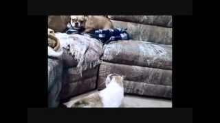 Cat fights Dog